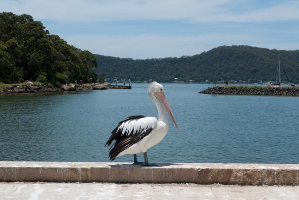 pelikan; profil prawy