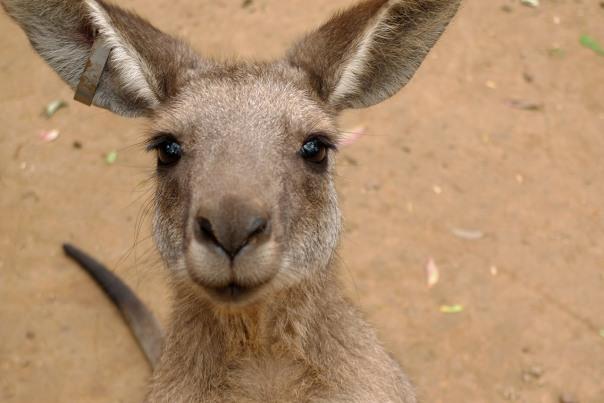 kangur portretowany